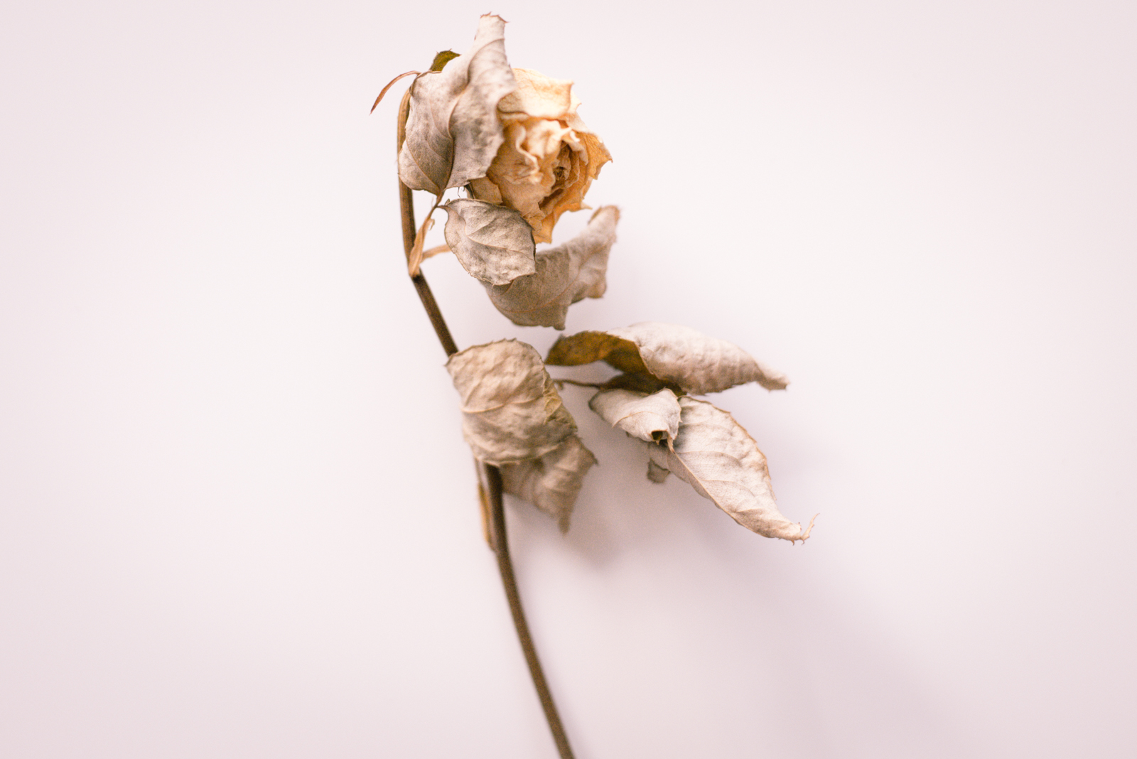 a dried yellow rose with leaves