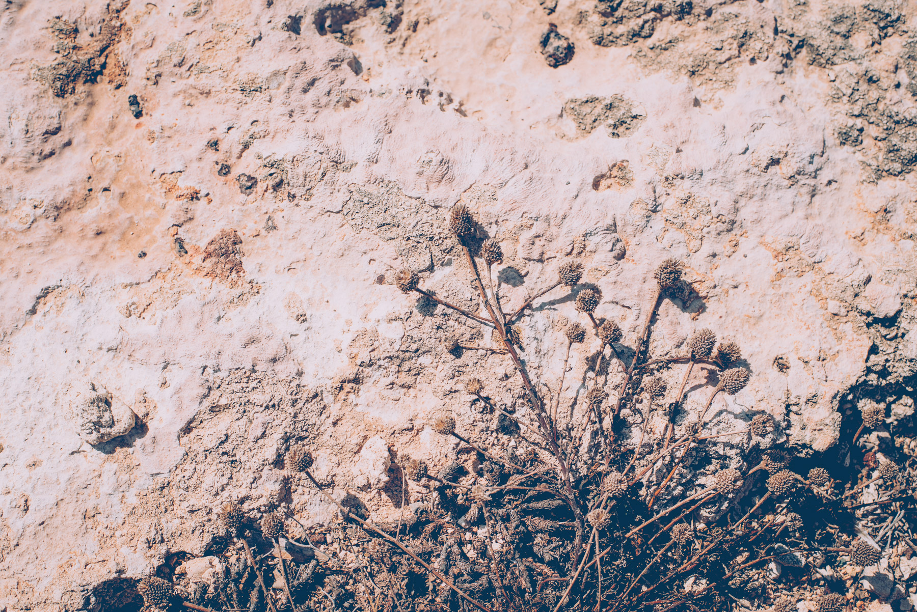 detail of the rounded plants and greenery that grows on the rocks of the island of lampedusa