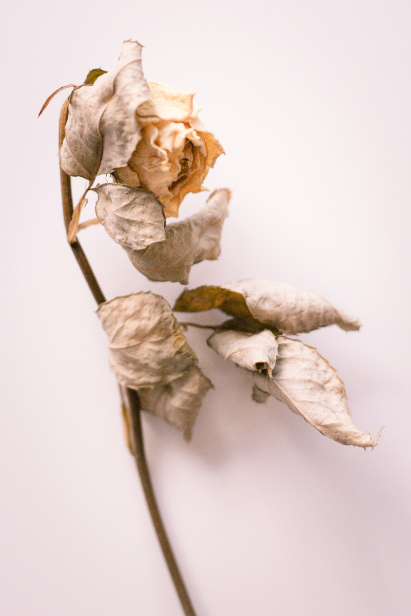 detail of one dried yellow rose with leaves