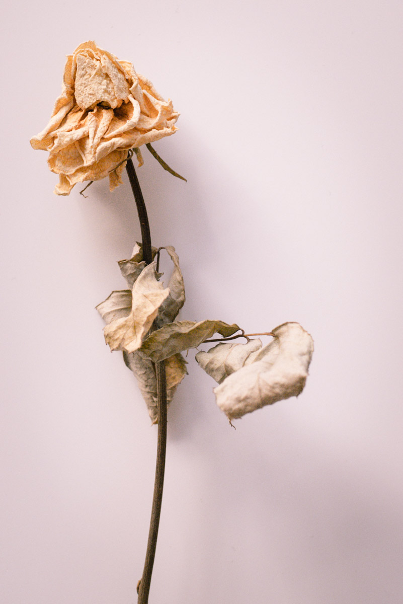 one dried yellow rose with leaves