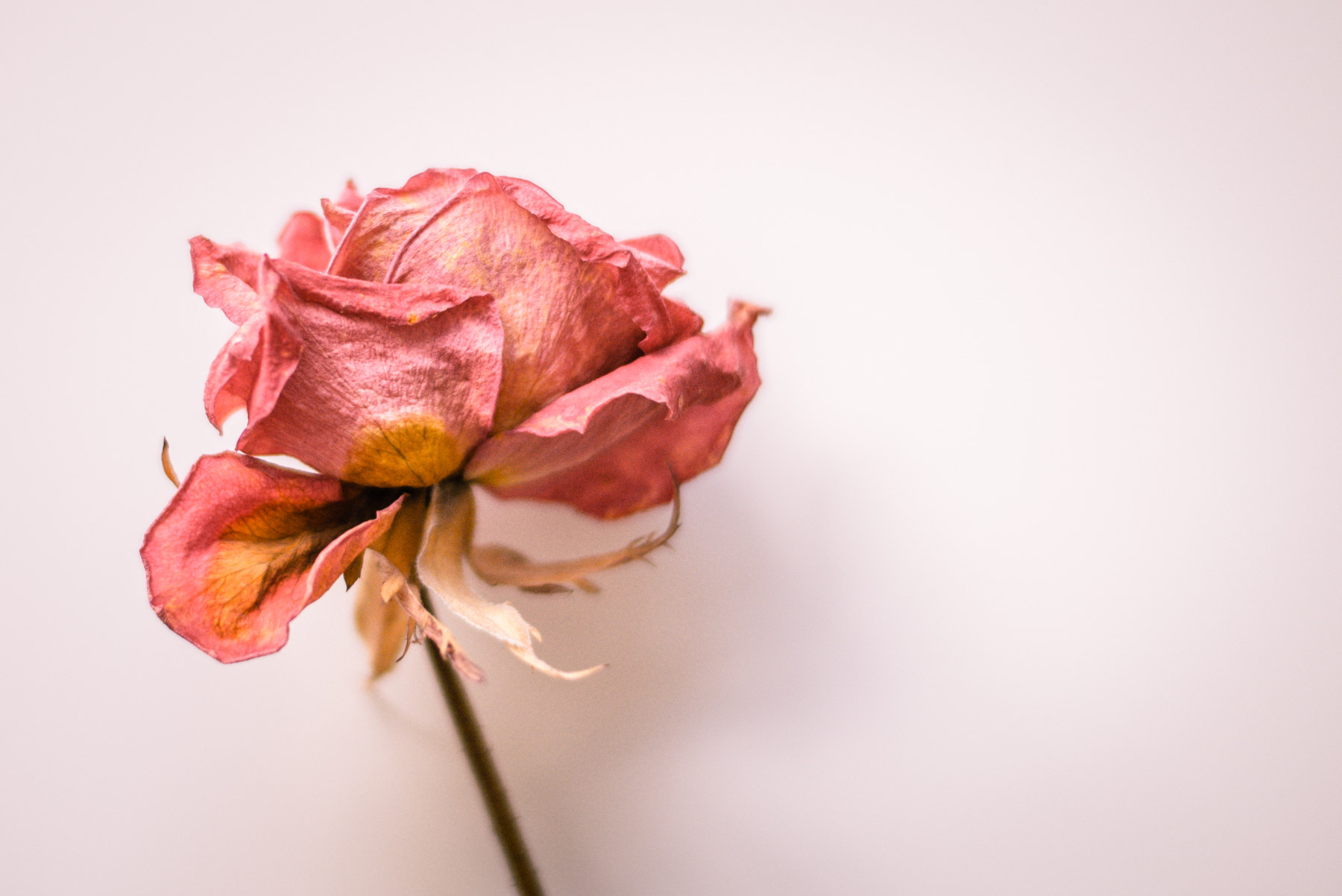 detail and close up of a dried flower, a pink rose