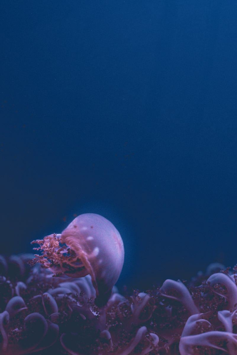 A pink jellyfish swimming in the Genoa aquarium