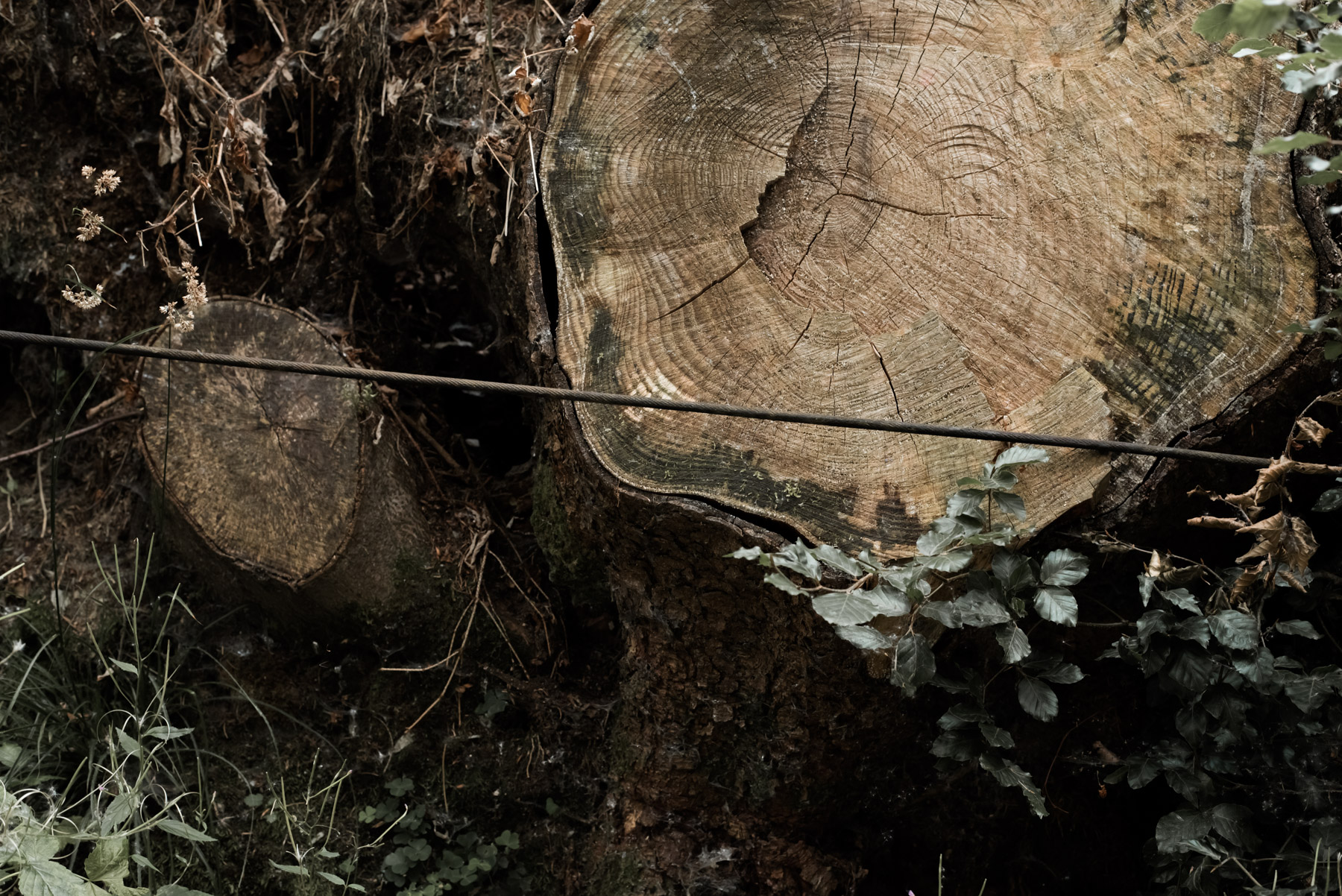 A detail of a tree trunk, dettaglio di un tronco di albero tagliato con gli anelli in vista