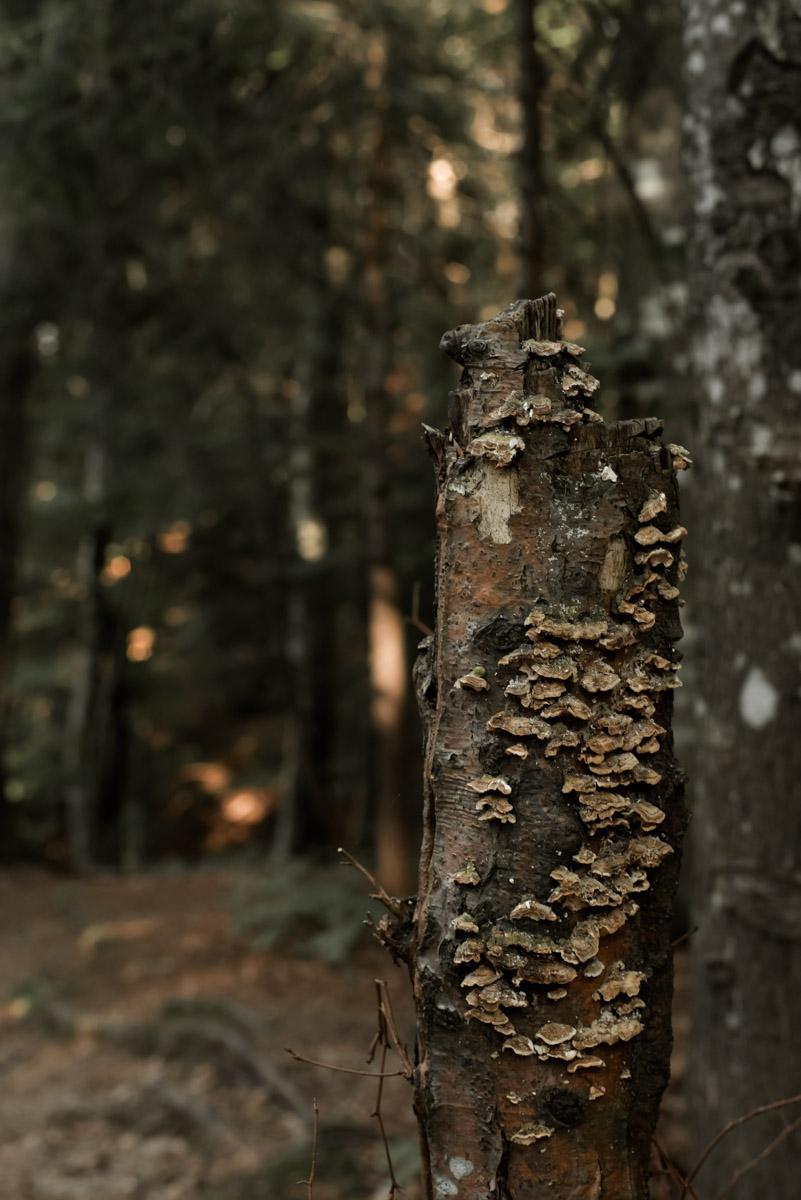 Detail of a broken tree trunk in a forest covered in mushrooms, dettaglio di un tronco di albero spezzato in un bosco o foresta coperto da funghi