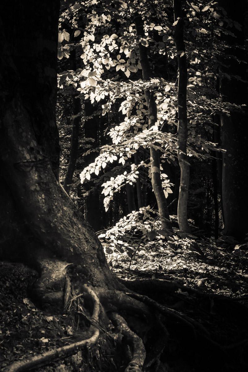Light and shadow play on a tree trunk with its own roots and a brightened up tree on the background, gioco di luci e di ombre in un bosco o in una foresta, con un grosso albero e le sue radici in evidenza in primo piano e un albero illuminato dal sole in secondo piano