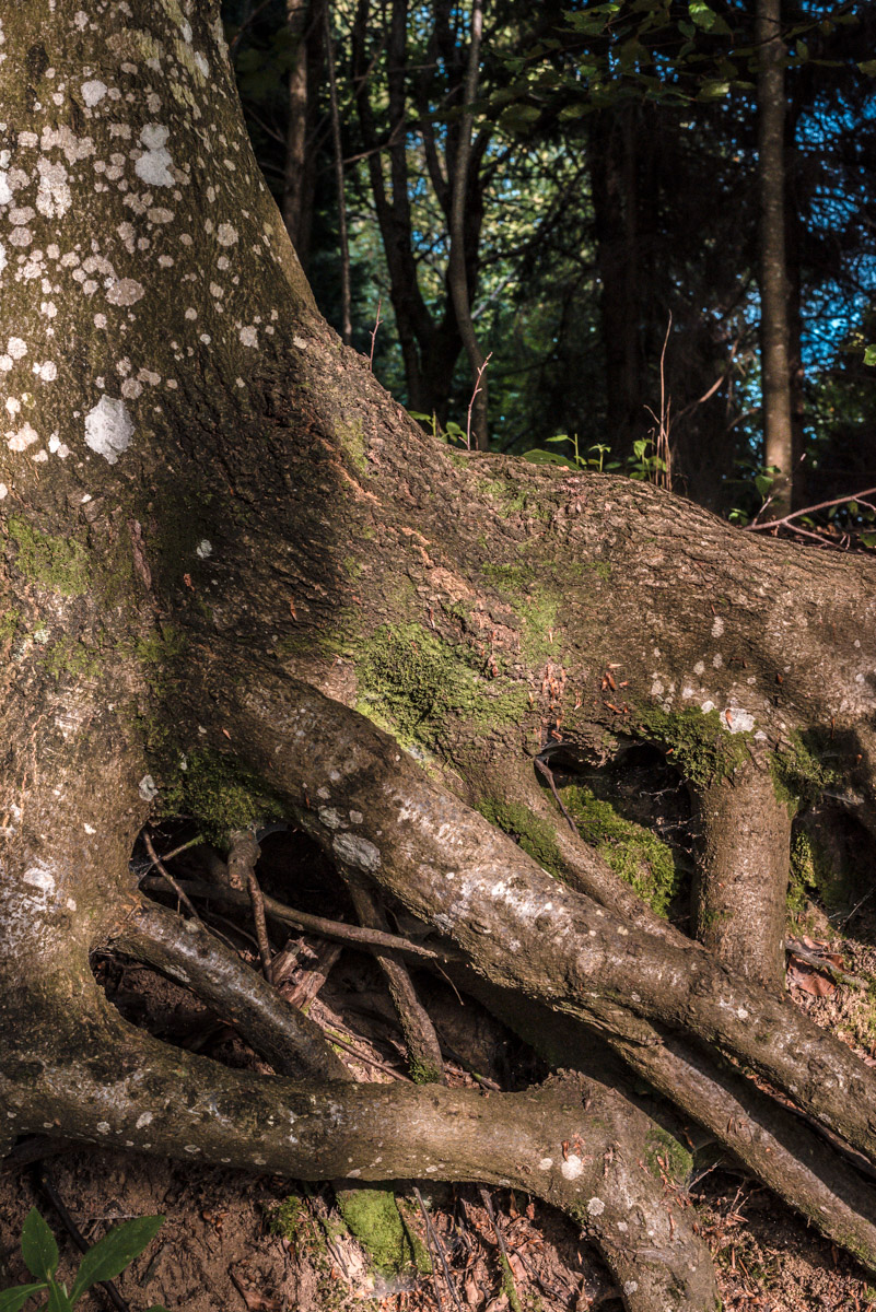Detail of tree roots in a forest, dettaglio di radici in una foresta