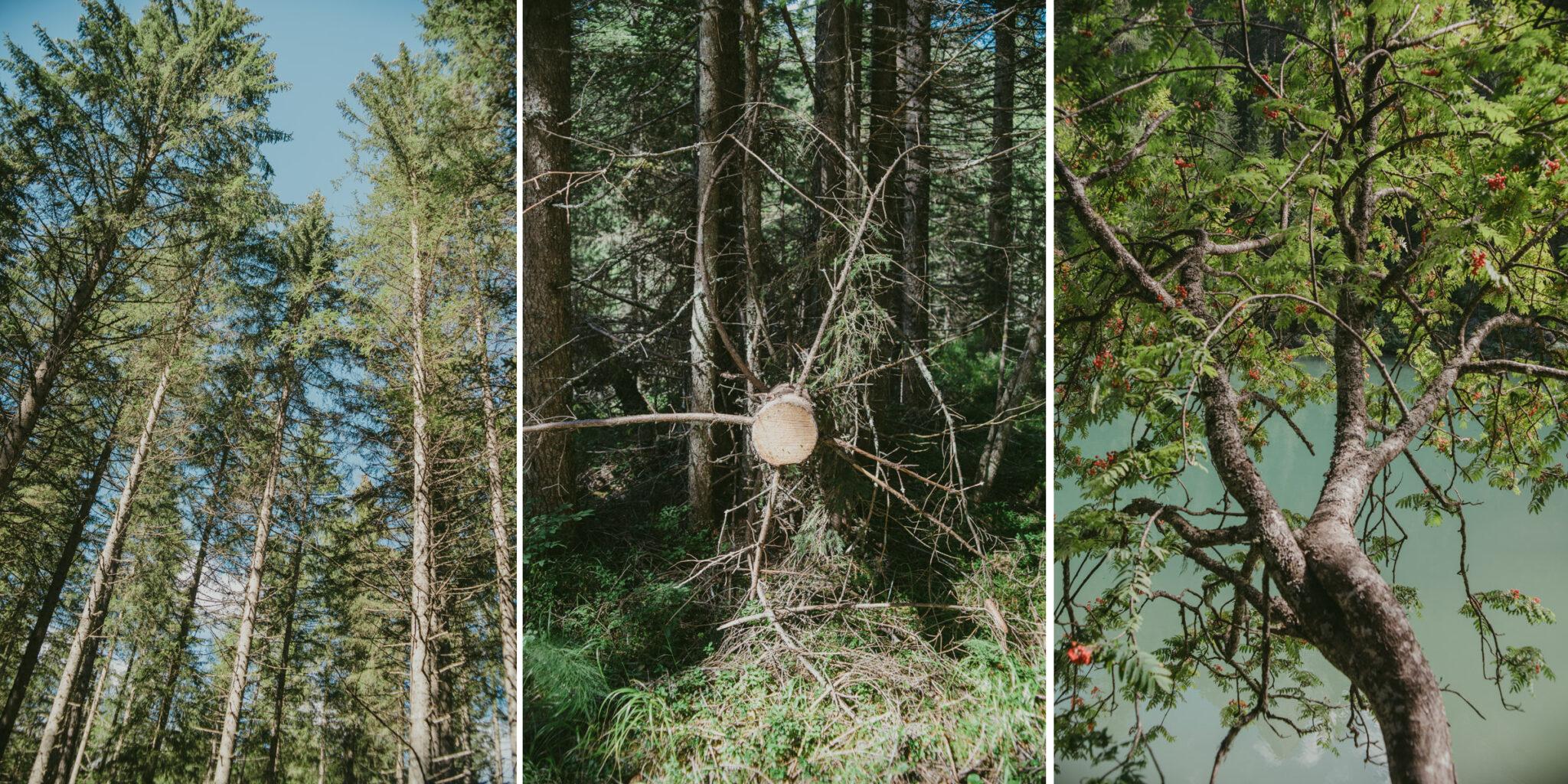 A collage of three photographs showing some trees ; un collage di tre fotografie che mostrano tre alberi