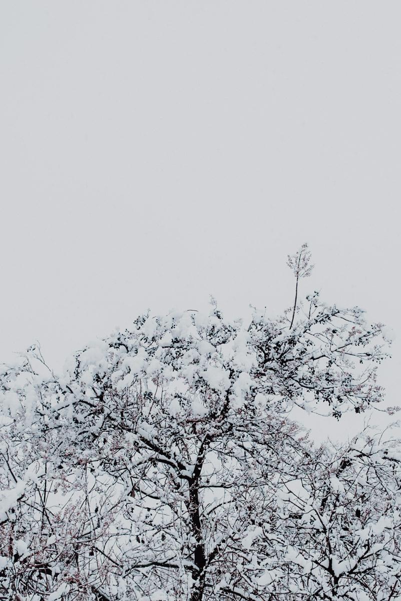 Snow in Milan on December 2020, detail of the upper part of a tree covered in snow, neve a milano a dicembre 2020, dettaglio della parte superiore di un ramo di un albero coperto di neve